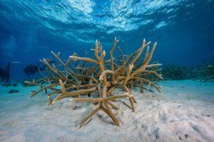 Staghorn coral (Acropora cervicornis)