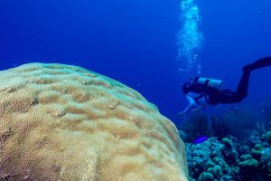 Mountainous star coral (Orbicella faveolata)