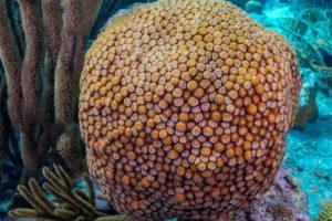 Great star coral (Monastraea cavernosa)