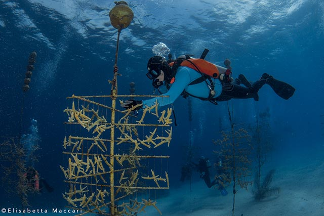 coral Outplanting