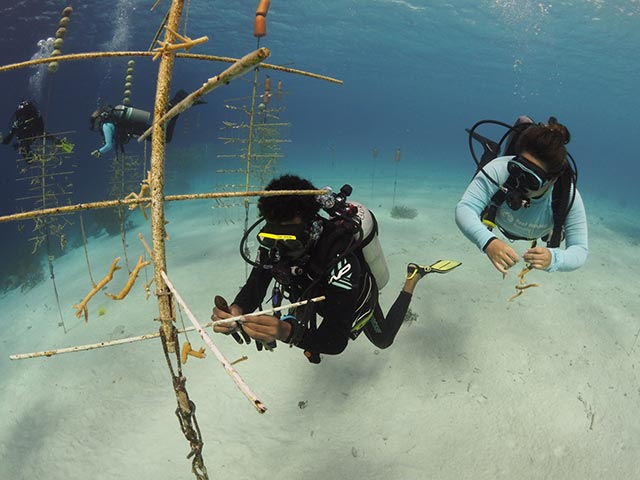 Hanging and tying corals in the Klein Bonaire nursery