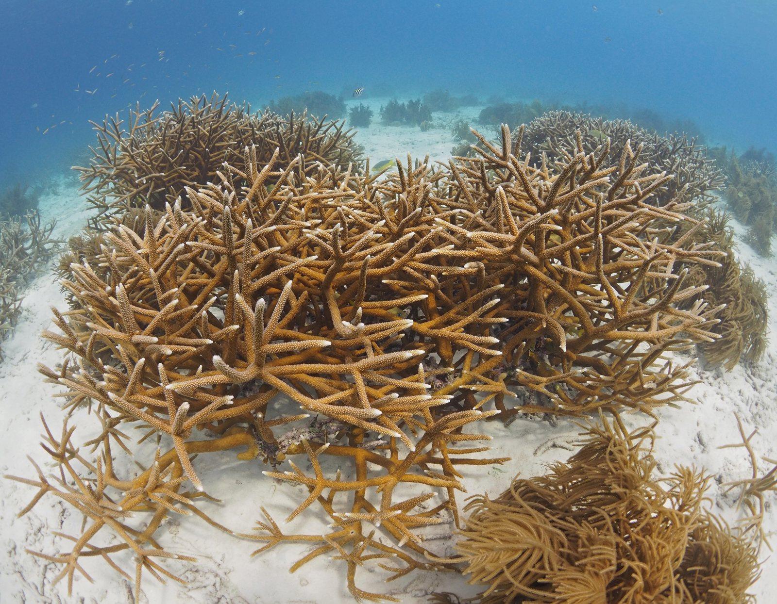 Reef Bonaire restoration